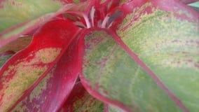 Dettaglio verde rosso della foglia Fotografia Stock