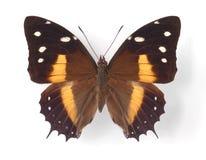 deucalion baeotus стоковое изображение
