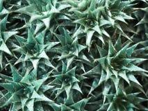 Deuterocohnia Aromeitiella presto nominato Bevifolia Struttura di verdure Priorità bassa floreale Immagine Stock