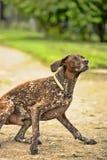 Deutsch Kurzhaar. German Short-haired Pointing Dog Stock Photos