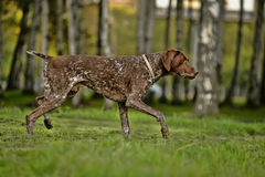 Deutsch Kurzhaar. German Short-haired Pointing Dog Stock Photo