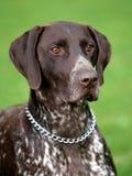 Deutsch Kurzhaar dog royalty free stock photography