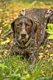 Deutsch Kurzhaar dog. Deutsch Kurzhaar German Short-haired Pointing Dog Stock Images
