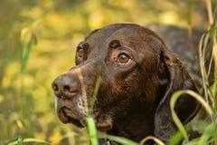 Deutsch Kurzhaar dog. Deutsch Kurzhaar German Short-haired Pointing Dog Royalty Free Stock Images