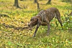 Deutsch Kurzhaar dog. Deutsch Kurzhaar German Short-haired Pointing Dog Royalty Free Stock Photo