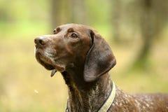 Deutsch Kurzhaar dog. Deutsch Kurzhaar German Short-haired Pointing Dog Stock Image