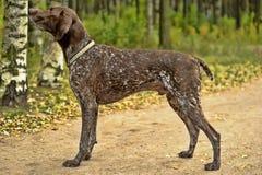 Deutsch Kurzhaar dog. Deutsch Kurzhaar German Short-haired Pointing Dog Royalty Free Stock Photos