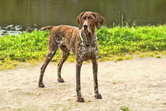 Deutsch Kurzhaar dog Royalty Free Stock Photography