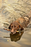 Deutsch Kurzhaar dog swims Royalty Free Stock Images