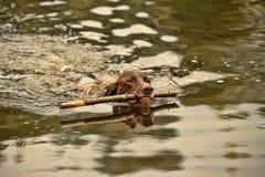 Deutsch Kurzhaar dog swims. Deutsch Kurzhaar dog swimming with a stick in his mouth Stock Photos