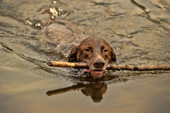 Deutsch Kurzhaar dog swims Royalty Free Stock Photo