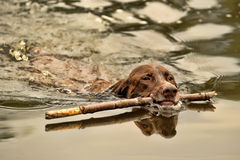 Deutsch Kurzhaar dog swims. Deutsch Kurzhaar dog swimming with a stick in his mouth Stock Images