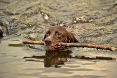 Deutsch Kurzhaar dog swims. Deutsch Kurzhaar dog swimming with a stick in his mouth Stock Image