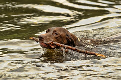 Deutsch Kurzhaar dog swims Stock Image
