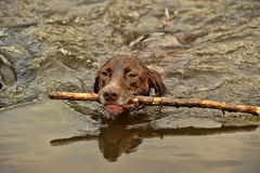 Deutsch Kurzhaar dog swims Royalty Free Stock Photos