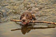 Free Deutsch Kurzhaar Dog Swims Royalty Free Stock Photos - 26833728