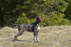 Deutsch Kurzhaar German Short-haired Pointing Dog. In the forest Royalty Free Stock Images