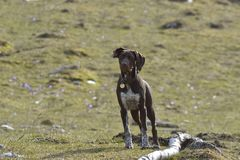 Deutsch Kurzhaar German Short-haired Pointing Dog. In the forest Royalty Free Stock Photos