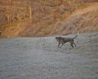 Deutsch Kurzhaar - Jägerhund Lizenzfreie Stockfotos