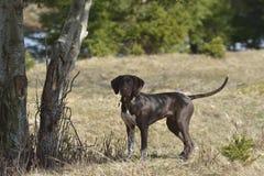 Deutsch Kurzhaar tysk Kort-haired peka hund Royaltyfri Fotografi