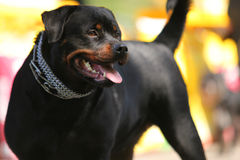 Deutsch Rottweiler Guard Dog Royalty Free Stock Photo