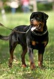 Deutsch Rottweiler Guard Dog. During walking Stock Photography