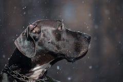 Deutsche Dogge Lizenzfreie Stockfotos