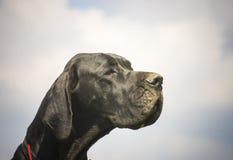 Deutsche Dogge Στοκ Φωτογραφίες