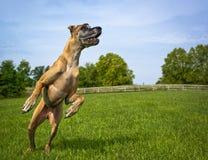 Deutsche Dogge auf Hinterbeinen nach rechts springend Stockbild