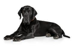 Deutsche Dogge auf weißem Hintergrund Lizenzfreies Stockfoto
