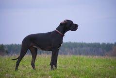 Deutsche Dogge (Deutsche Dogge) lizenzfreie stockfotos