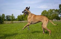 Deutsche Dogge, die über Feld nach links springt Lizenzfreie Stockbilder