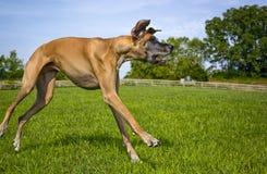 Deutsche Dogge, die über Feld springt Stockbilder