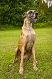Deutsche Dogge, die auf dem grünen Gebiet sitzt Stockbild