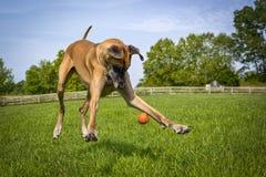 Deutsche Dogge, die den Boden versucht, orange Ball zu fangen betrachtet Stockfoto