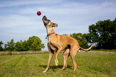 Deutsche Dogge, die mit Ball in der mittleren Luft spielt Stockfotografie