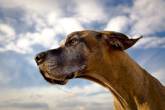 Deutsche Dogge, die nach links mit Geiferstrang schaut Lizenzfreies Stockbild