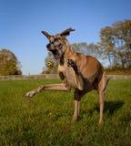 Deutsche Dogge, Mund gaffend, linken, anziehenden gelben Ball gegenüberstellend Stockfotografie