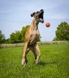Deutsche Dogge, Mund gaffend, versuchend, orange Ball in der mittleren Luft zu fangen Lizenzfreie Stockfotografie