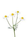Deutsche Kamille (Matricaria chamomilla) Lizenzfreie Stockfotos