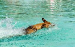 Deutsche Pinscherschwimmen im Pool Lizenzfreies Stockfoto