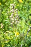 Deutsche wilde Orchidee, Eidechsenorchidee Stockbilder
