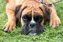 Deutscher Boxer on a green grass lawn Stock Image