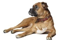 Deutscher Boxer (Hund) auf weißem Hintergrund lizenzfreie stockfotografie