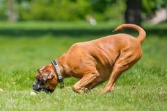 Deutscher Boxer-Hund, der einen Ball auf einem Gebiet jagend läuft und springt stockfotografie