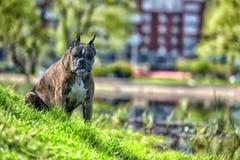 Deutscher Boxer mit den geernteten Ohren stockfotos