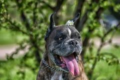 Deutscher Boxer mit den geernteten Ohren lizenzfreies stockfoto