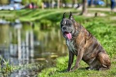 Deutscher Boxer mit den geernteten Ohren stockfoto