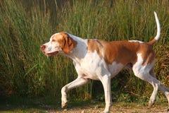 Deutscher Hund der kurzhaarigen Nadelanzeige Stockfotografie