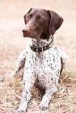 Deutscher Hund der kurzhaarigen Nadelanzeige, der auf dem Gebiet sitzt Stockbild